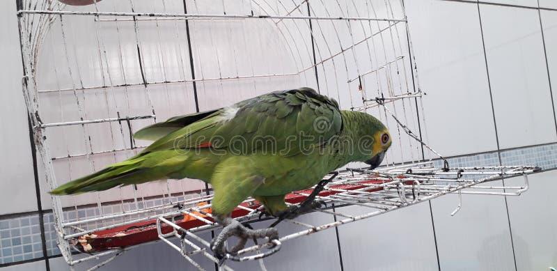 Милый зеленый попугай сидя на клетке выглядя счастливый с мягким фокусом стоковые изображения