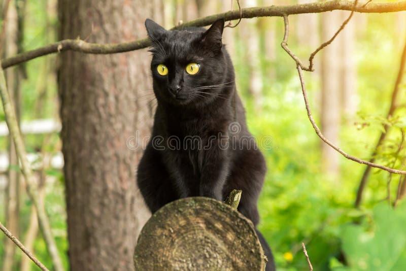 Милый кот bombay черный с желтыми глазами сидит на весне имени пользователя, лесе лета в солнечном свете внешний, природа стоковое изображение