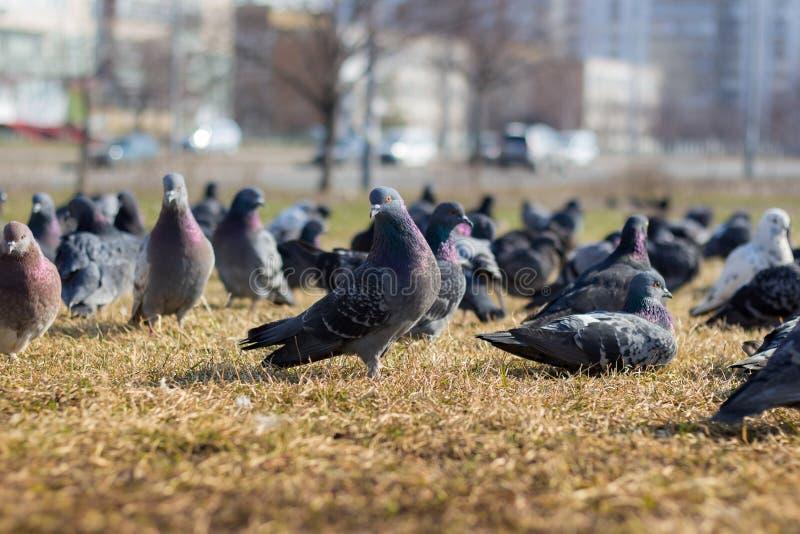 Много голубей в луге стоковое изображение rf