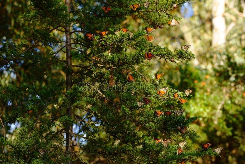 Множественные бабочки монарха сидя на ветви дерева стоковое фото rf