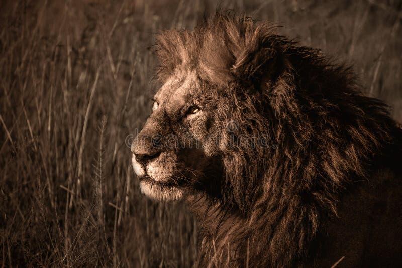 Мужской лев отдыхая в траве стоковая фотография rf