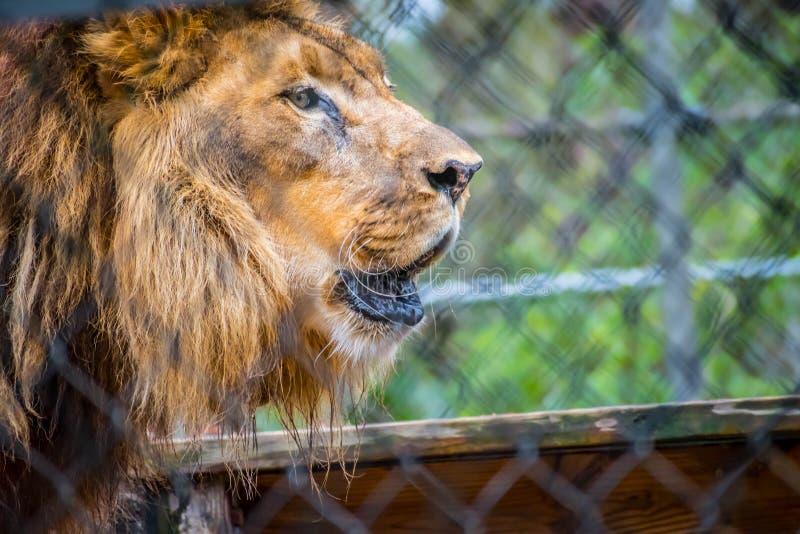 Мышечный, глубок-chested лев в Джексонвилл, Флорида стоковые фотографии rf