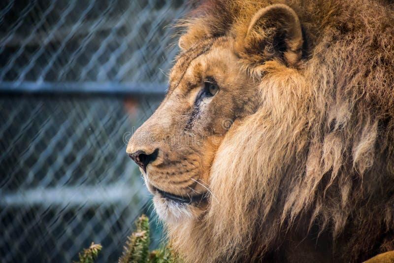 Мышечный, глубок-chested лев в Джексонвилл, Флорида стоковое фото