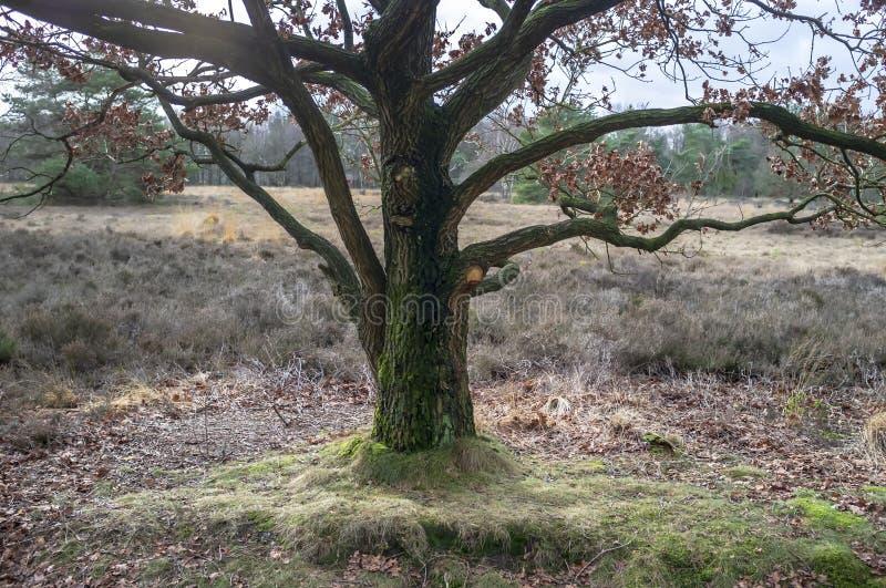 Могущественный большой дуб с листвой last year сухой, против предпосылки лугов и лесов, на солнечный день стоковые фотографии rf