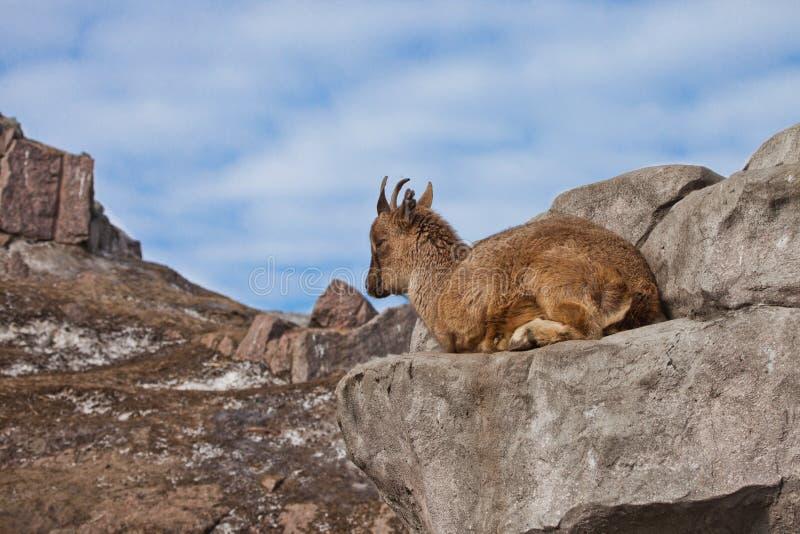 Молодая женщина Markhoor козы горы лежа на утесе на утесе, голубое небо стоковая фотография rf