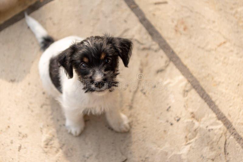 Молодая собака щенка терьера Джек Рассела 7,5 недель старых смотрит вверх смешная перспектива стоковые изображения rf