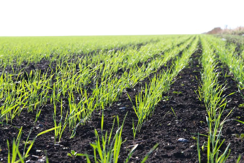 корнями озимая пшеница фото весной всходы пожелтели понятно желание