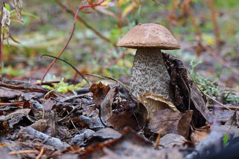 Молодой гриб scabrum лекцинума bolete березы, известный как груб-происходить bolete, или scaber преследуют конец вверх по изображ стоковое изображение