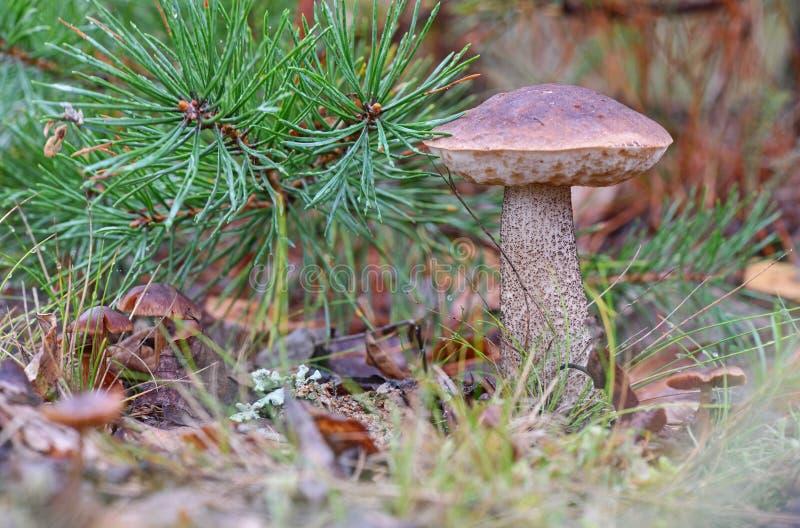 Молодой гриб scabrum лекцинума bolete березы, известный как груб-происходить bolete, или scaber преследуют конец вверх по изображ стоковая фотография rf