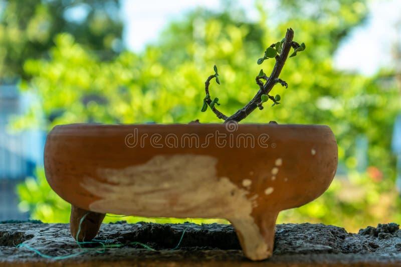 Молодой завод дерева нефрита в красном глиняном горшке стоковые фотографии rf