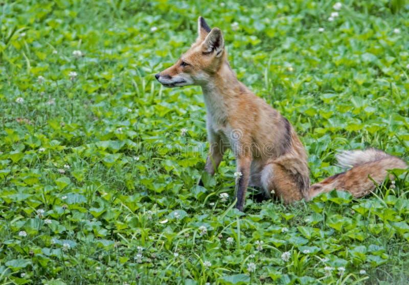 Молодой красный Fox сидит ждать братья стоковое фото rf