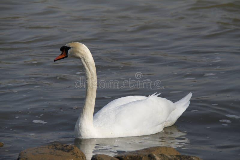 Молодой лебедь плавает спокойно на воде стоковые фотографии rf