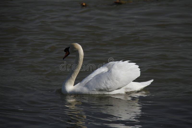 Молодой лебедь плавает спокойно на воде стоковое изображение rf