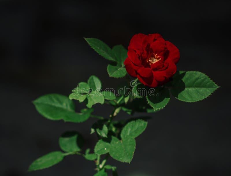 Моя маленькая роза стоковое изображение rf