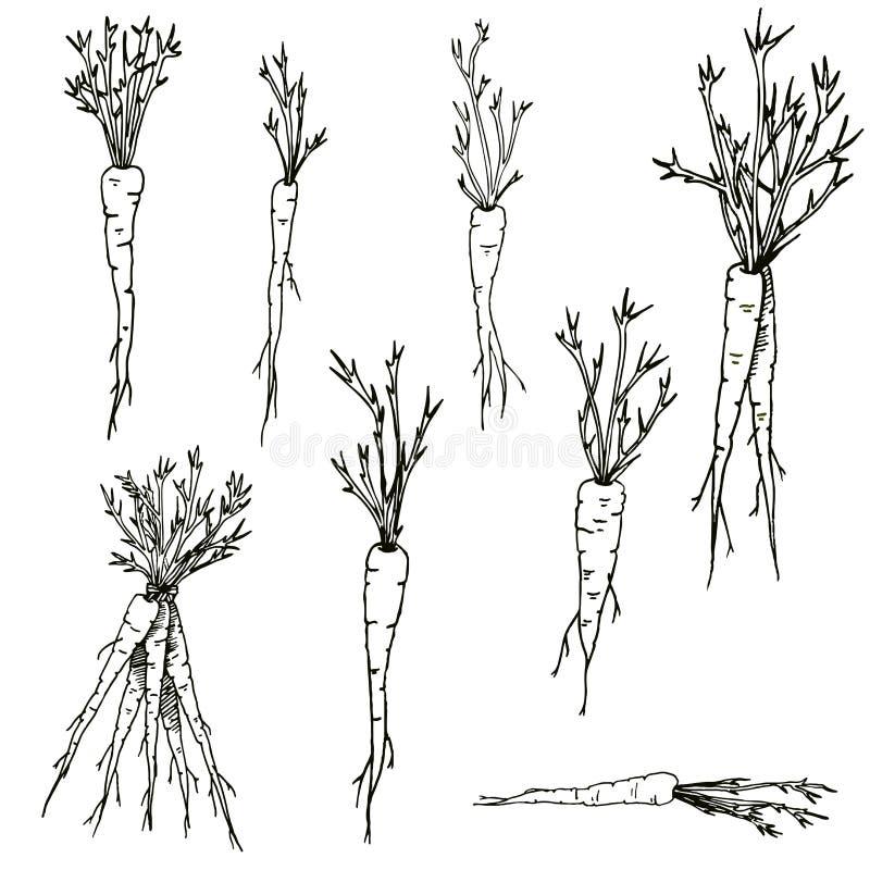 Моркови вектора вручают вычерченный набор искусства зажима черно-белых овощей и корней иллюстрация штока