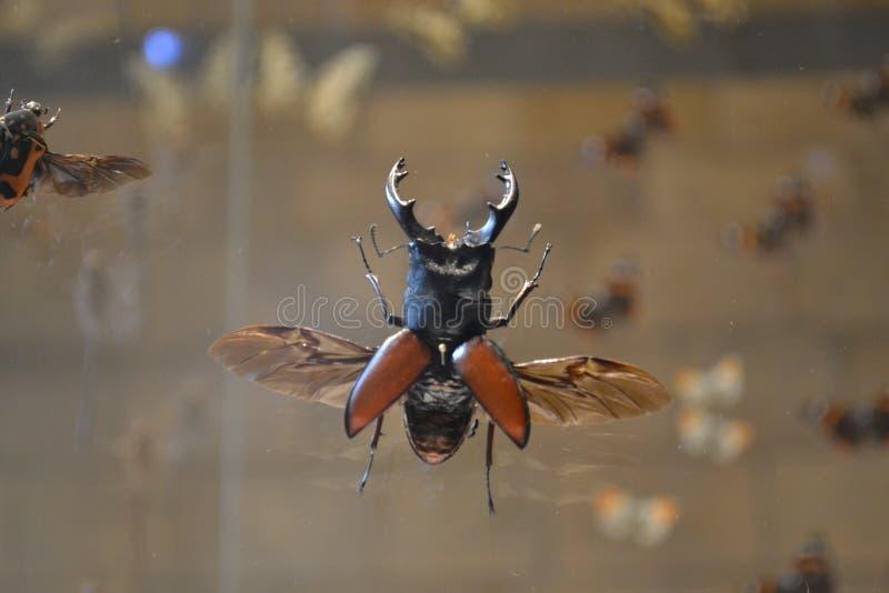 Насекомое жука рогача большое в музее стоковые фотографии rf