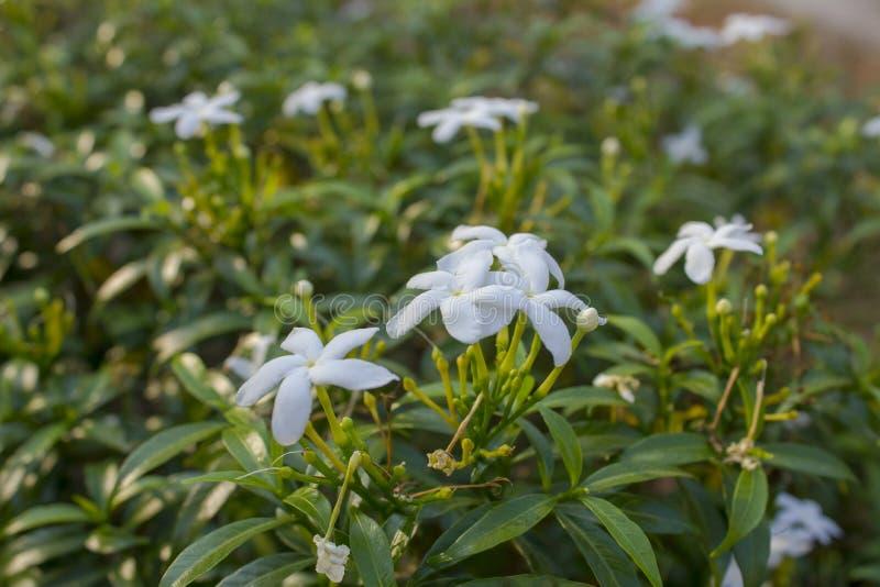 Небольшие белые тропические цветки на зеленом конце-вверх ветви на запачканной предпосылке стоковое изображение rf