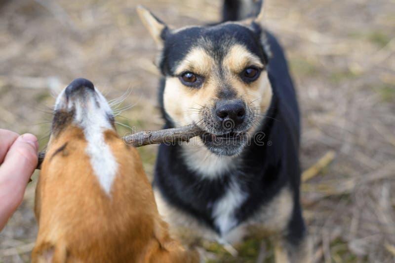 2 небольших собаки играют с ручкой Аутбредные щенята в сельской местности стоковые изображения