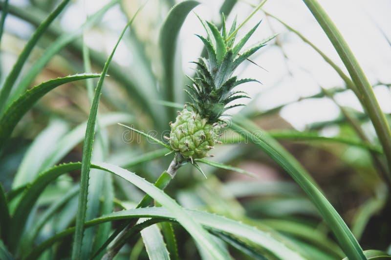 Небольшой ананас растя в естественном стоковые изображения