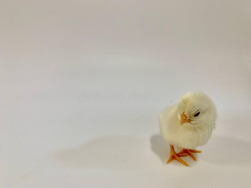 Небольшой желтый цыпленок на белой предпосылке стоковое изображение