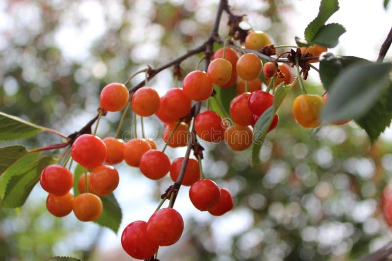 Незрелая вишня как раз начинает краснеть ранним летом на ветвях стоковое фото