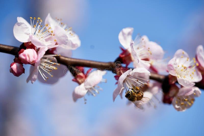 Некоторые цветки абрикоса и пчела стоковое изображение rf