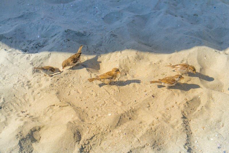 Немногое воробьи ищет семена еды на пляже экологически чистый пляж граница тени и света стоковые фото