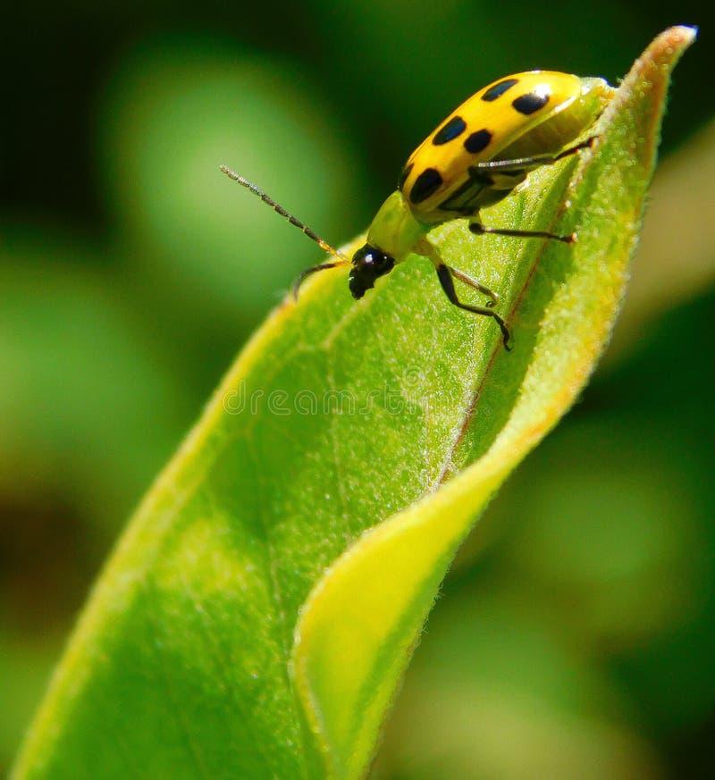 Немногое желтый жук стоковая фотография