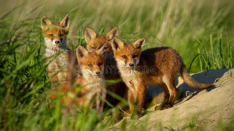 Новички красной лисы небольшие молодые около вертепа любопытно вытаращить к камере стоковые фотографии rf