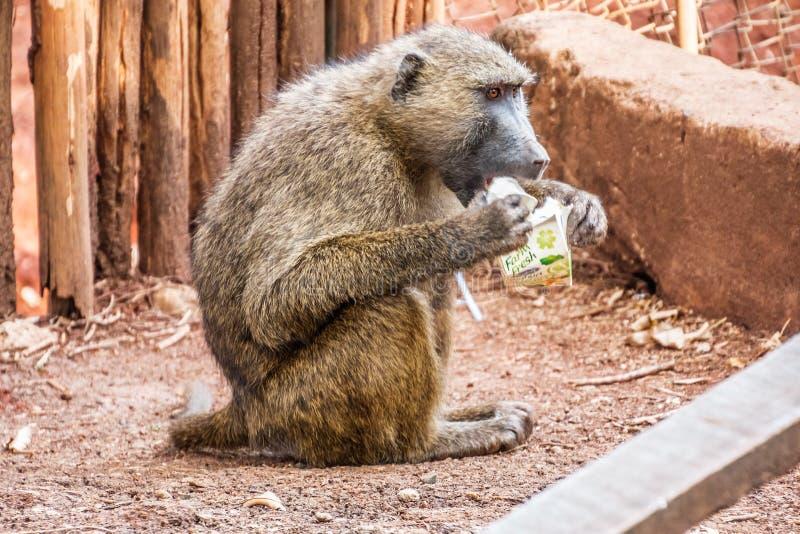 Павиан ест высококалорийную вредную пищу в Кении стоковое изображение rf