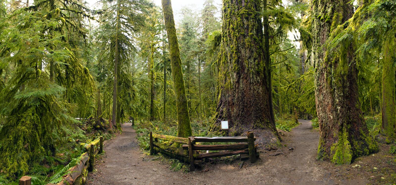 Панорамный вид леса старого роста в парке рощи собора, острове ванкувер стоковые фото