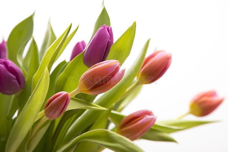 Пасха покрасила тюльпан, весну стоковая фотография