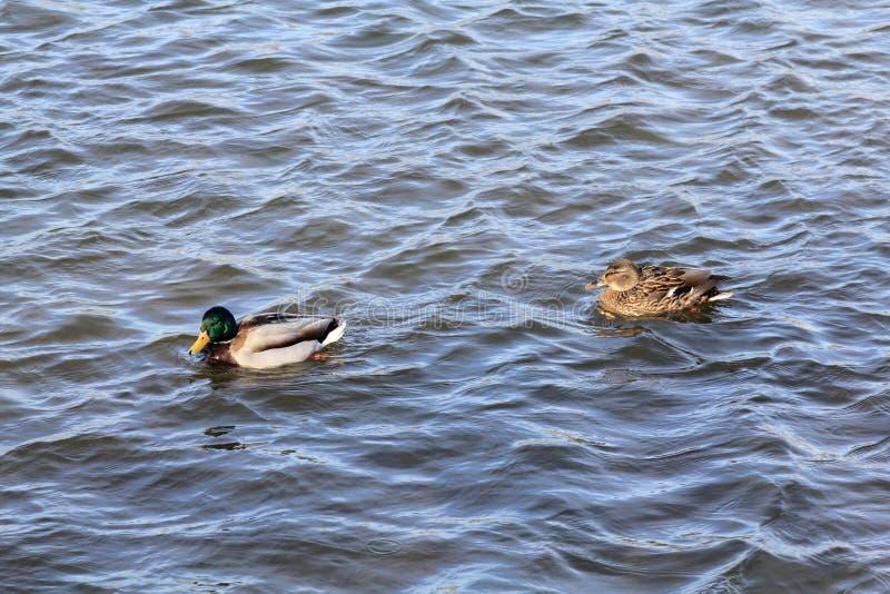 Пара заплывов утки и селезня совместно вдоль волн реки весны стоковые изображения rf