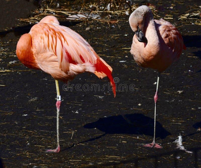 Пара чилийских фламинго стоковое изображение rf