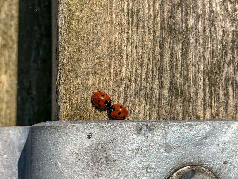 Пара ladybirds на деревянном столбе загородки в предыдущем солнечном свете весны стоковые изображения