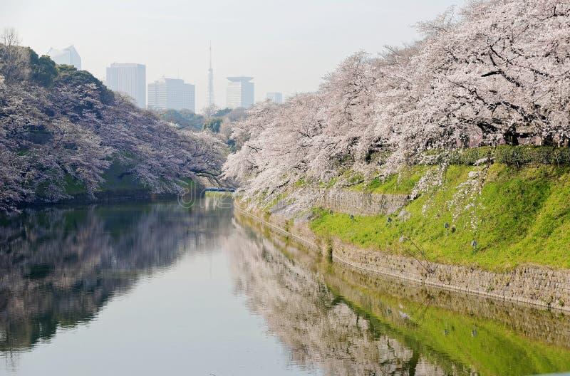 Пейзаж изумляя деревьев Сакуры вишневого цвета зацветая vibrantly ровом и отразил в воде стоковые изображения