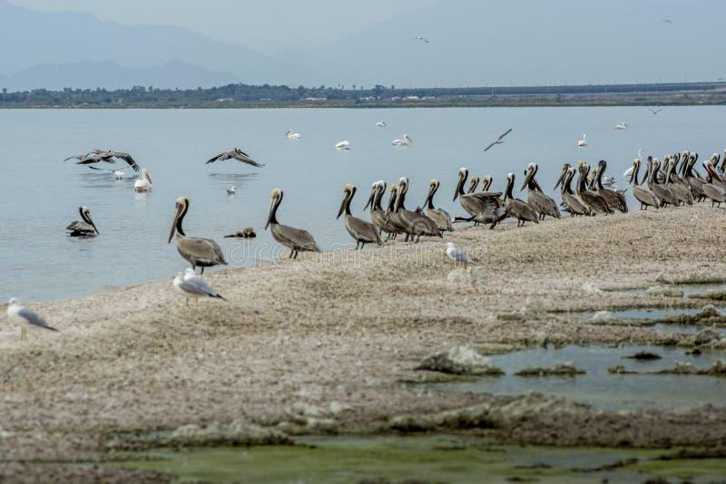 Пеликаны на береге моря Солтон стоковая фотография rf