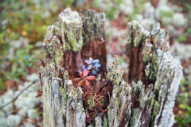 Пень большой рамки тухлый с зацветая внутренностью цветка стоковое фото