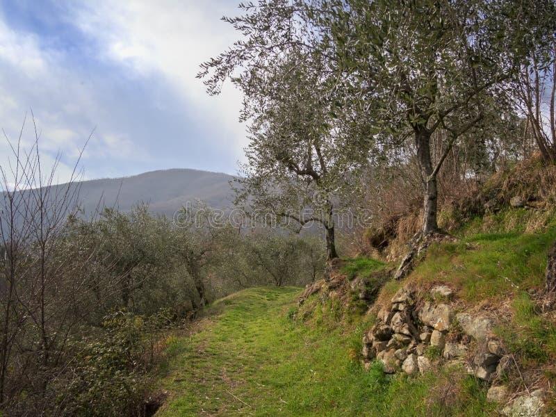 Пешая тропа, оливковая роща thorugh пути, Lunigiana, северная Тоскана, Италия Красивая мирная сельская местность стоковая фотография