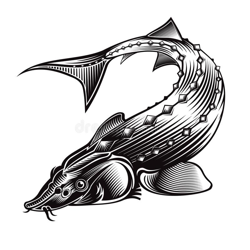 Sturgeon fish bend silhouette in engrving style. Logo for fishing, caviar label; menu and other business. On white vector illustration