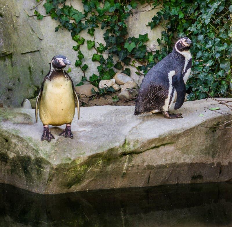 2 пингвина Гумбольдта стоя совместно на утесе на стороне воды, уязвимых птицах воды от Тихоокеанского побережья стоковые изображения rf
