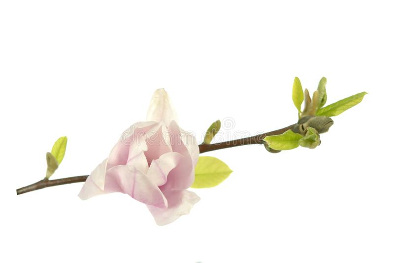 пинк magnolia цветка стоковые изображения