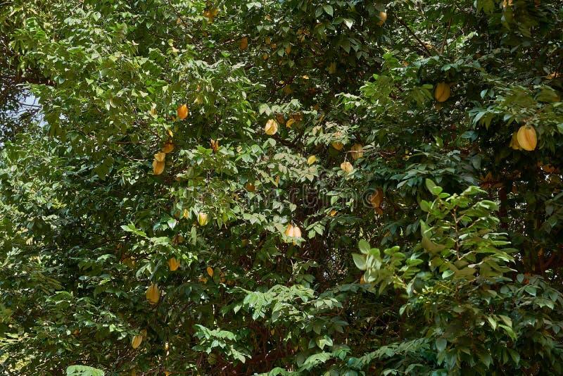 Плод яблока звезды, органический свежий плод звезды или карамбола Averrhoa карамболы на дереве стоковая фотография rf