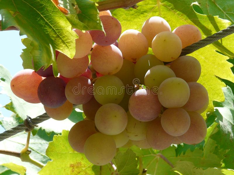 Пук золотых виноградин стоковое фото