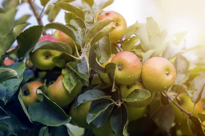Пук конца-вверх красивых зеленых яблок с падениями росы вися зрея на ветви яблони с зелеными листьями освещенными ярким стоковая фотография