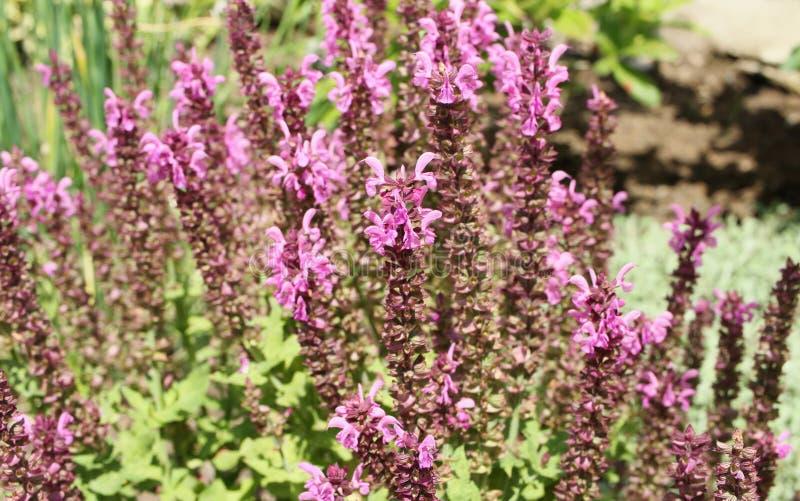 Пук цветений salvia пурпурово стоковые фотографии rf