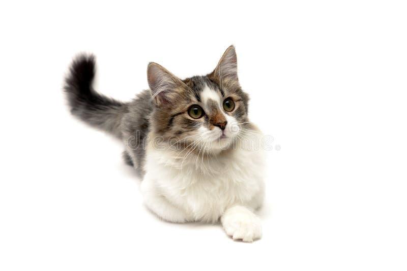 Пушистый котенок лежит на белой предпосылке стоковая фотография