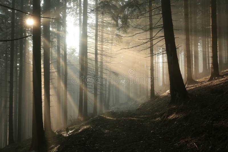 Путь через туманный coniferous лес на зоре стоковые изображения