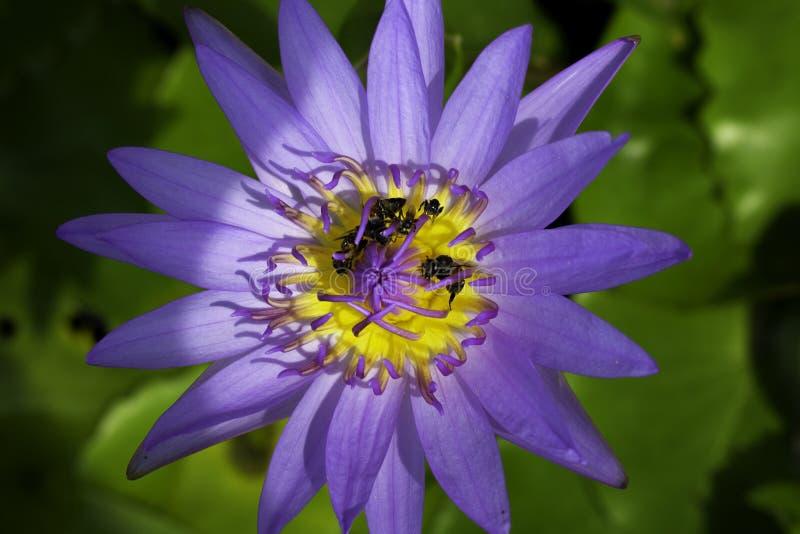 Пурпурный лотос и много пчел который едят цветень стоковое изображение