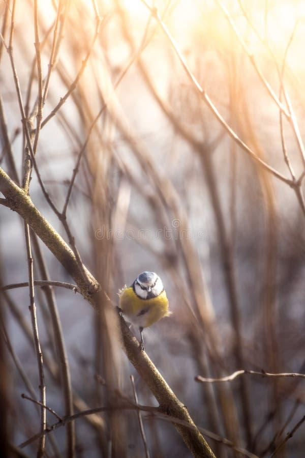Птица & x28; голубое tit& x29; сидит на ветви дерева в зиме стоковые изображения